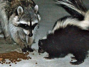 http://en.wikipedia.org/wiki/Image:Urban_raccoon_and_skunk.JPG